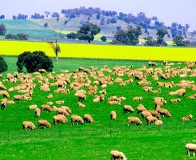 SHEEPINC_Business_Units_Farming1