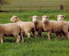 5_LAMBS_Livestock