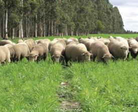 SHEEP_WA_Livestock (Small)