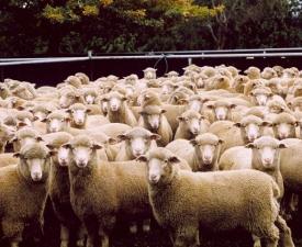 SHEEPINY_Livestock (Small)